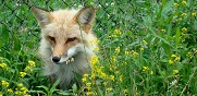Meet the Foxes at Upper Schuylkill Valley Park.jpg